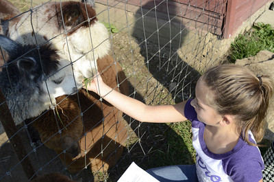 Connections Cyber School student Shay Mangisi, 10, feeds an alpaca at the Patchwrok Alpacas Farm on Wednesday.