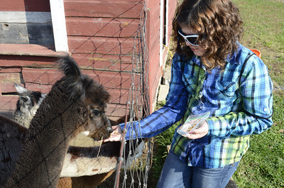 Natalie Mathews, 9, feeds a alpaca at the Patchwork Alpacas Farm, on Wednesday, as the Connections Cyber School took a field trip their.