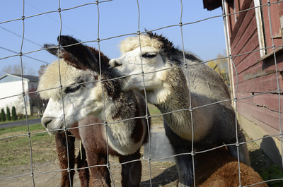 Two alpacas get friendly with each other at the Patchwork Alpaca Farm in Selinsgrove on Wednesday.