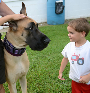 Landon Peters, 3, of Middleburg meets Seasmus, a 22-month-old Great Dane owned by Douglas Kish of Catasauque, at the 42nd All-Breed Dog Show and Obedience Trial Saturday Aug. 25, 2012 at Middleburg Fireman's Fairgrounds.