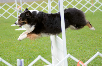 "Larry Bowa, an Austrailian shepherd, clears a jump in the Utility ""B"" obedience exersize during the 42nd All-Breed Dog Show and Obedience Trial Saturday Aug. 25, 2012 at Middleburg Fireman's Fairgrounds."
