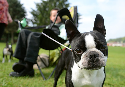 Giggs, a Boston terrier, hangs out with his owner, Michael Lippert, 8, of Thompsontown after their turn in the ring during the first day of the 42nd All-Breed Dog Show and Obedience Trial Saturday Aug. 25, 2012 at Middleburg Fireman's Fairgrounds.