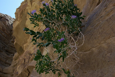 Flowers growing out of the rock at Split Mountain.