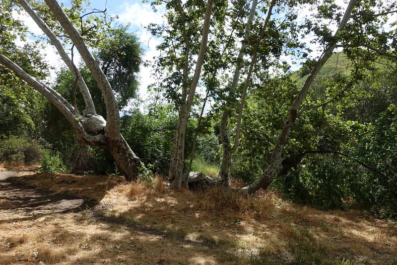Ye olde sycamore tree