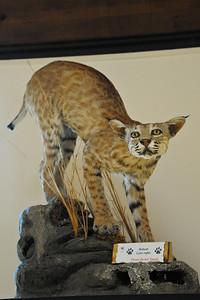 A very old Bobcat, Placerita Cyn.