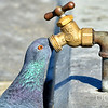 Pigeon Drinking from a brass water outlet