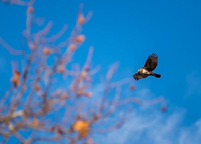 A passing hawk