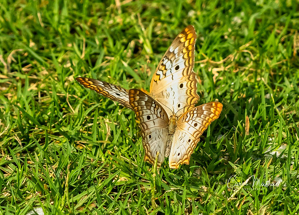 Couple of butterflies-2