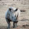 Wildlife, Rhino