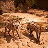 Wildlife, Hyena