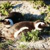 Penguins, Wildlife