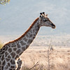 Wildlife, Giraffe
