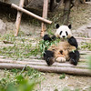 Wildlife, Panda, Bear