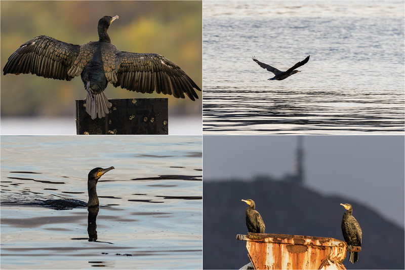 "Project ""Local Wildlife in Laksevåg"" - there were many Great Cormorants (Storskarv) around Kirkebukten in Laksevåg today. Here is a selection from today's sesseion."