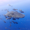 Whale shark at Roca Partida, Socorro Islands.