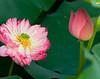 Double Lotus