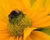 Chinese pollinator