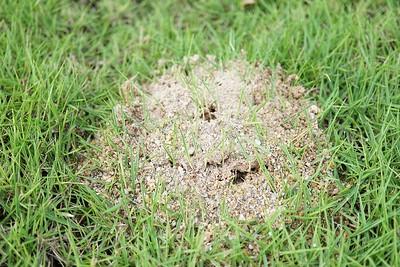 Small colony of Solenopsis Invicta