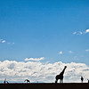 Giraffes silhouette against skyline