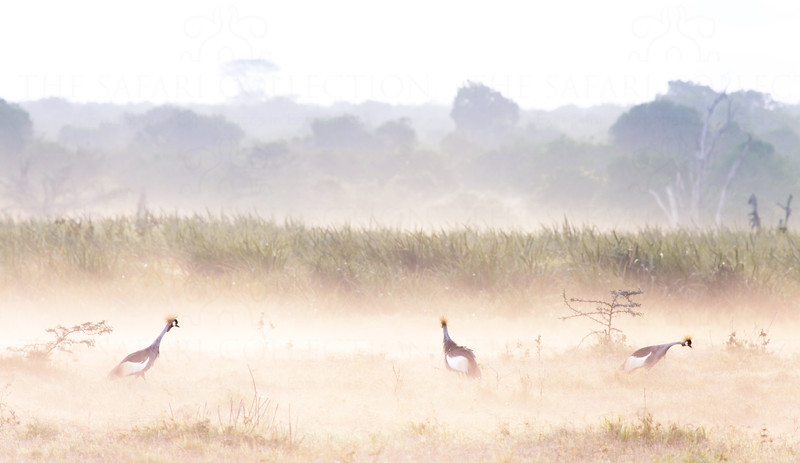 Crested cranes on a misty morning