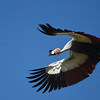 Crested crane in flight