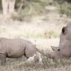 Rhino and calf at Solio Rhino Sanctuary