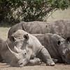 White rhinos huddle under a tree in Solio Rhino Sanctuary