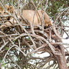 Male lion up a tree in Solio Rhino Sanctuary