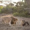 Lions at Solio Rhino Sanctuary