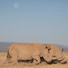White Rhinos under the moon at Solio Rhino Sanctuary