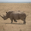 White rhino at Solio Rhino Sanctuary
