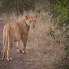 Lioness on the road at Solio Rhino Sanctuary