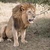Large male lion at Solio Rhino Sanctuary