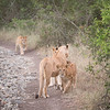 Lioness and cubs walk walong the road at Solio Rhino Sanctuary