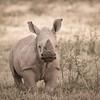 White rhino calf at Solio Rhino Sanctuary