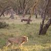 Lion and rhino in Solio Rhino Sanctuary