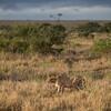 Cheetah at Solio, Kenya
