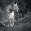Lion at Solio, Kenya