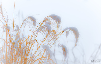 Winter grass after the snow