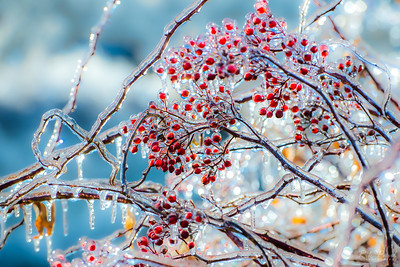 Winter berries after the ice storm