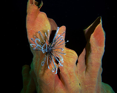 Crinoid and Sponge
