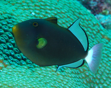 Pink Tail Triggerfish
