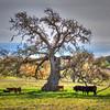 los olivos cows oak tree 8425-