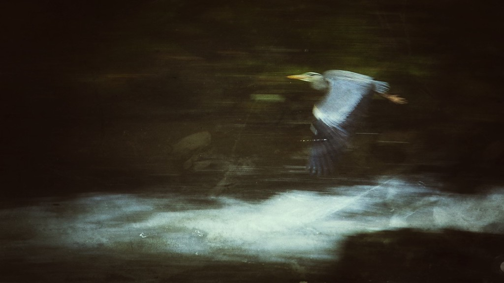 Great Blue Heron, East Lyn River, Exmoor, United Kingdom 2015