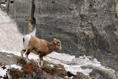 Rocky Mountain sheep crossing a cliff face near Jasper Alberta