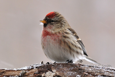 Male redpoll on a frosty branch