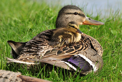 Mama mallard duck with her ducking on her back