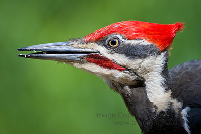 Pileated Woodpecker Closeup