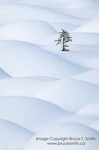 066 Lone spruce