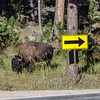 Bison Going the wrong way Custer State Park SD